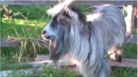 This Goat Is Perfectly On Time With The Beat